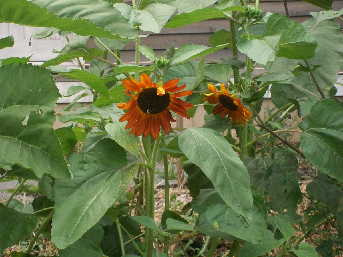 Sunflowers are being cultivated at the Corktown Workers' Row House soil remediation garden. The garden is an effort to raise