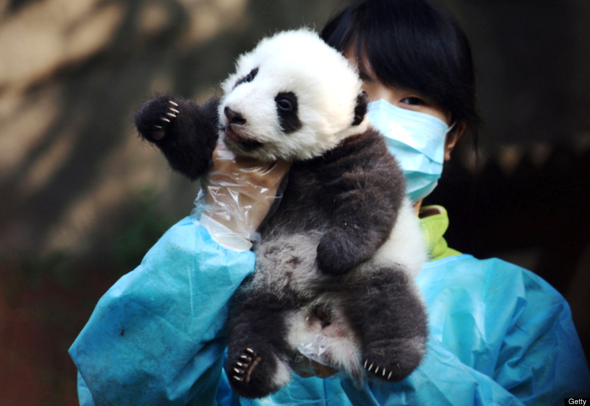 A worker shows of one of the baby pandas at the Giant Panda Research Base in Chengdu, southwest China's Sichuan province on J