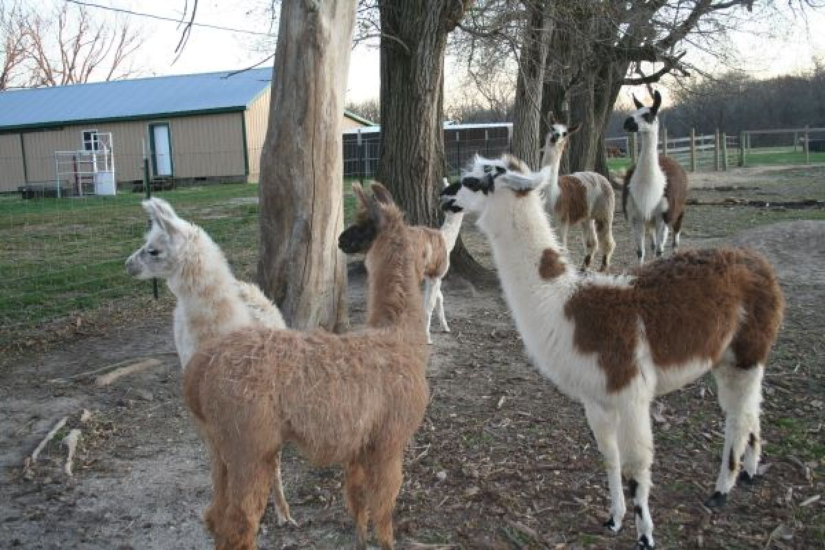The weirdest part of this ad is not that the llamas are for sale, it's that there are three kinds the seller offers: guard ll