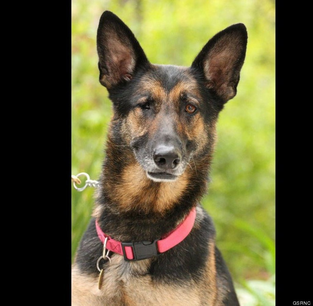 "<a href=""http://www.savegsd.org/dogdetail.asp?id=4056#photos"" target=""_hplink"">Annie Oakley</a> is a 7 year old, black and ta"