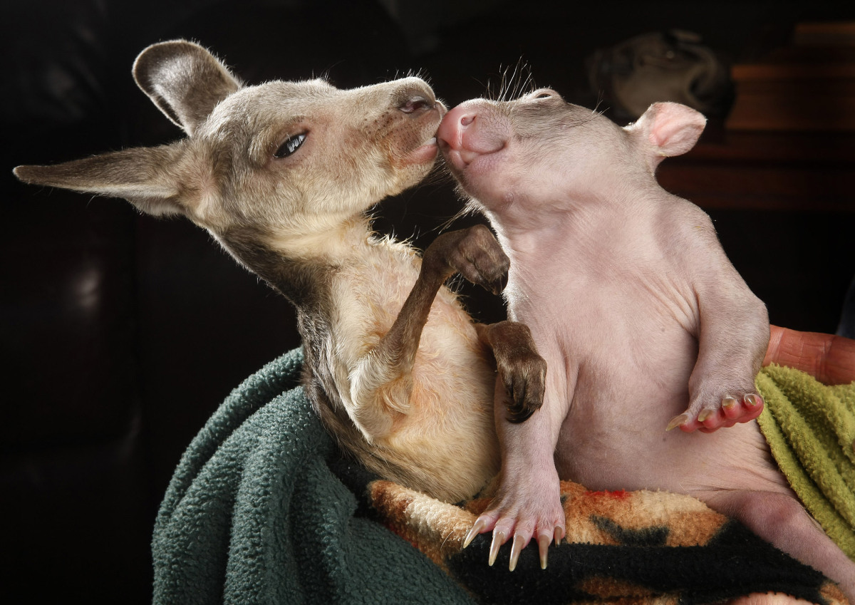 Orphaned kangaroo joey and wombat joey who share a pouch at the Wild about Wildlife Kilmore Rescue Centre in Victoria, Austra