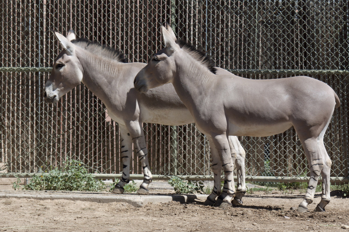 Kalifa and Kamowa, The Denver Zoo's new Somali wild asses. (photo via The Denver Zoo)