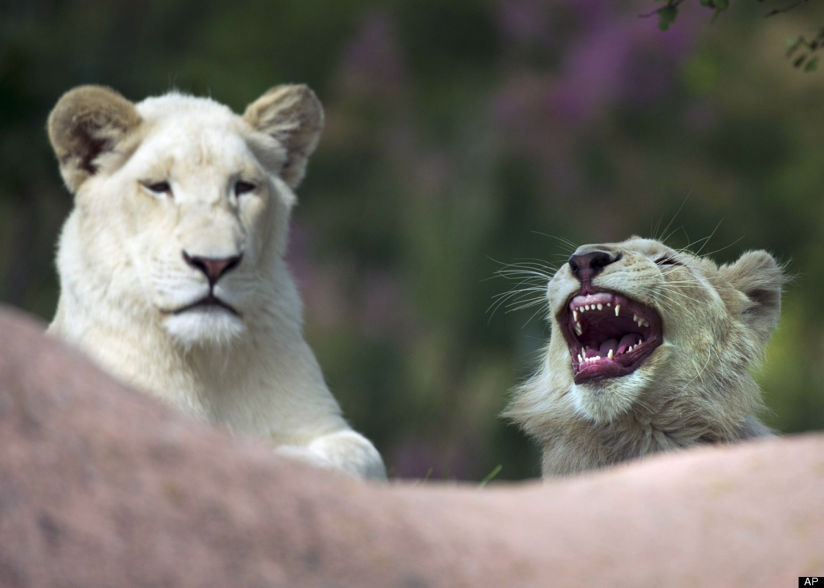 Newly-named White African lion cubs Lemon, left, and Fintan, right, rest in the heat at the Toronto Zoo after their names wer