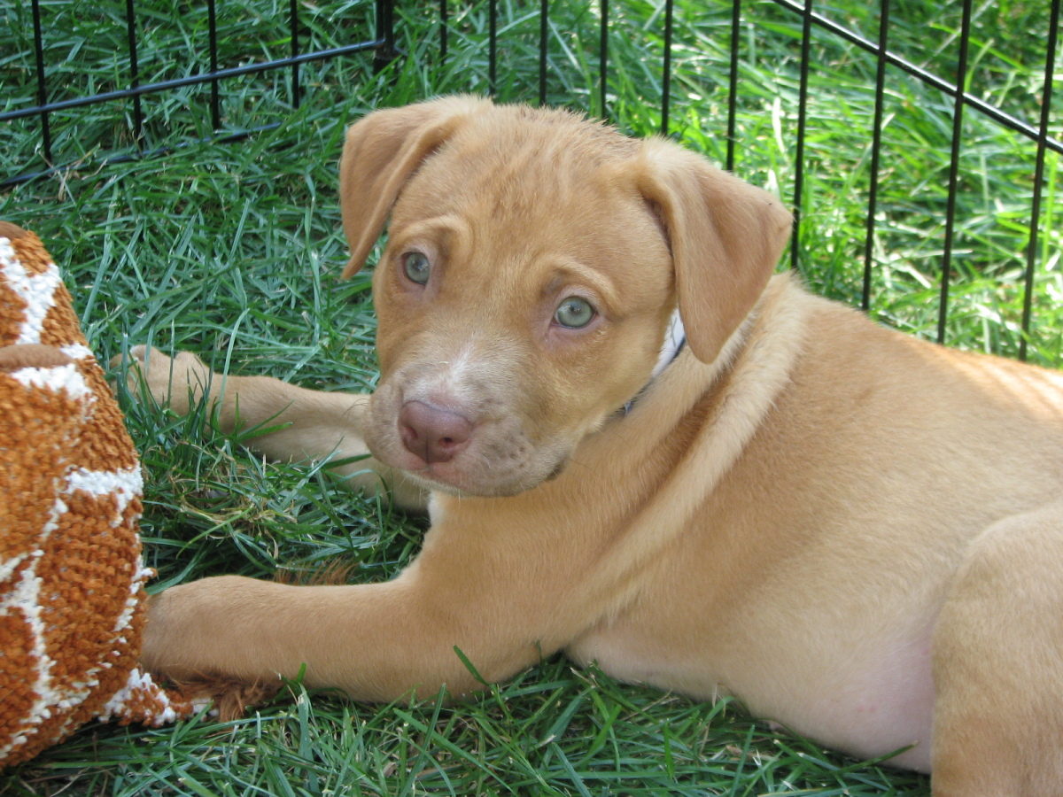 Carmel is a pit bull mix. She is 9 weeks old.