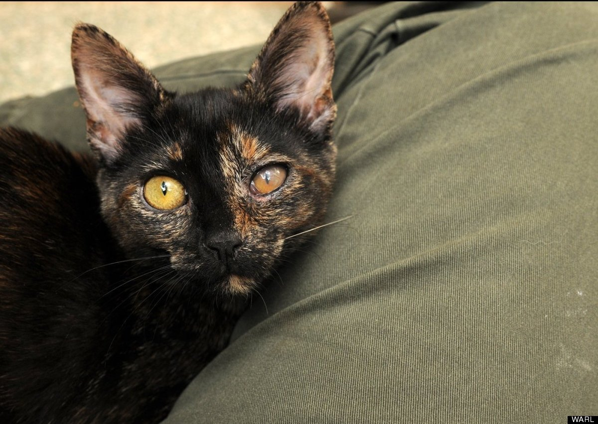 """Nerola is a 2-month-old tortoiseshell kitten who was brought to the <a href=""""http://warl.org/"""" target=""""_hplink"""">Washington An"""