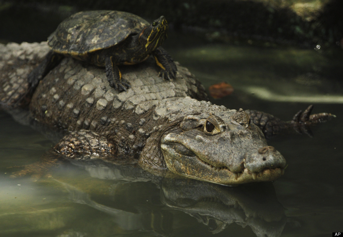 A turtle rides on an alligator's back at the Summit Garden Zoo in Panama City, Friday, Aug. 10, 2012. (AP Photo/Arnulfo Franc