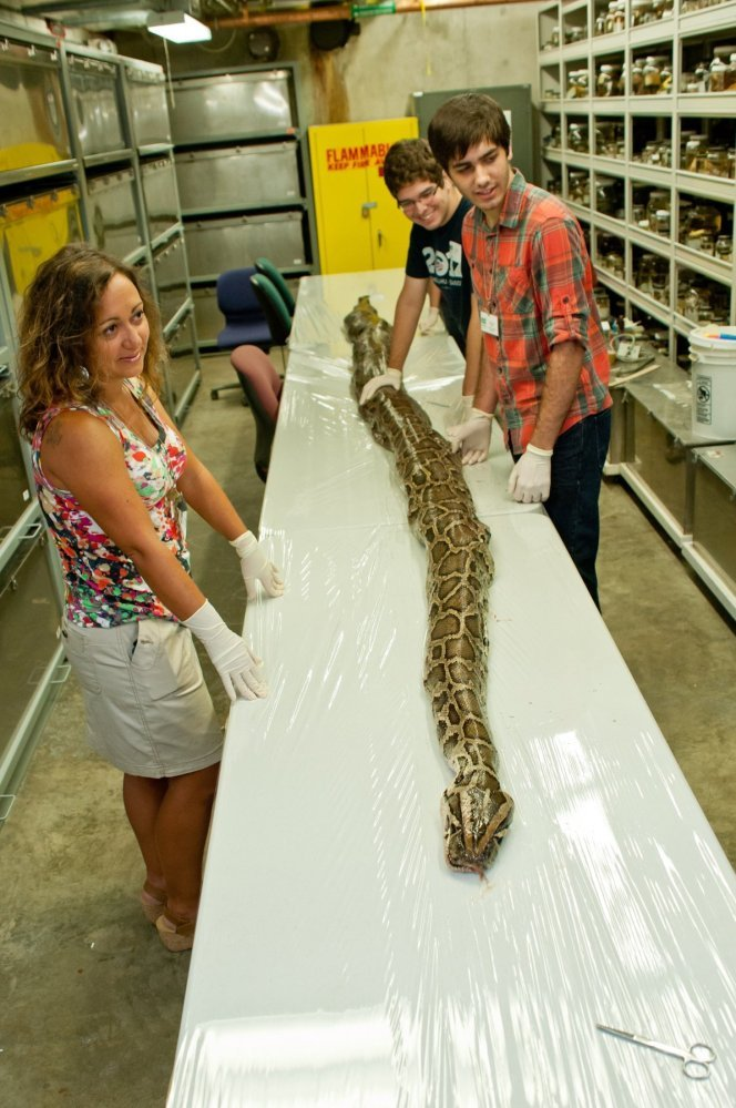 University of Florida photo by Kristen Grace/Florida Museum of Natural History