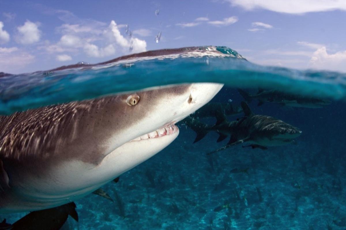 Lemon shark breaking the water's surface.