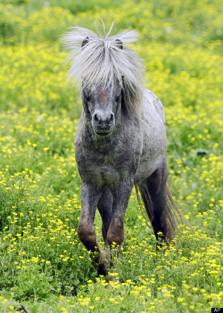 A miniature horse walks through a pasture filled with buttercups near Zanesville, Ohio Friday, May 4, 2012. (AP Photo/Mark Du