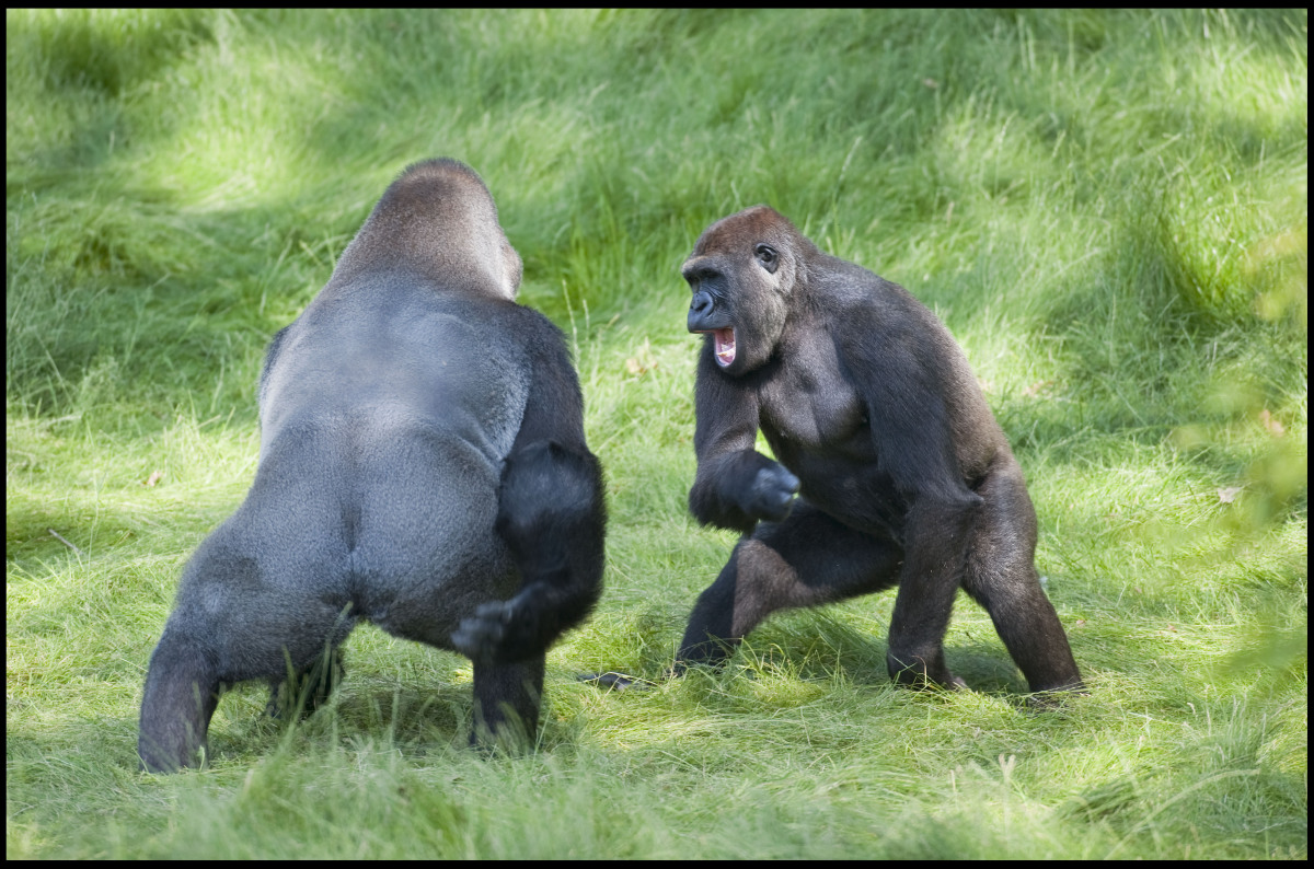 The touching reunion of two Gorilla brothers has been captured at the Longleat safari Park in Wilshire.   Siblings Kesho(13