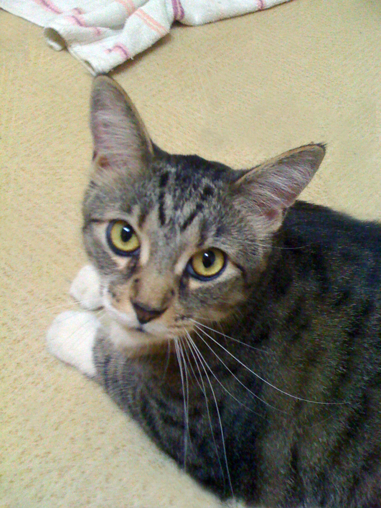 Bailey is a 6 year old affectionate declawed female cat, and needs a home with Cooper, her best friend. Visit Bailey at <a hr