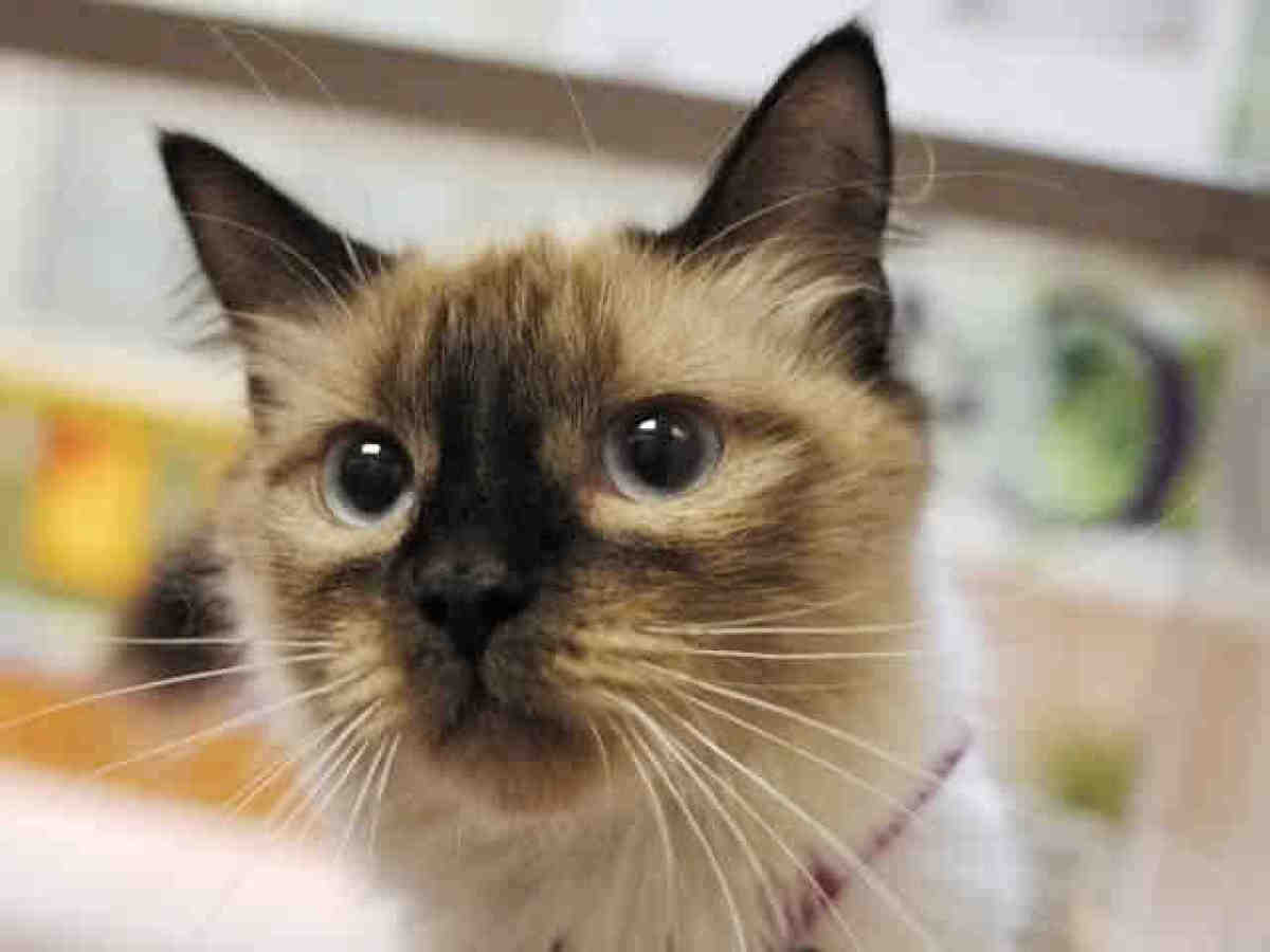 Cecilia is a 8-month-old spayed seal point domestic medium hair mix. <br><em>Call the Denver Dumb Friends League at (303) 751