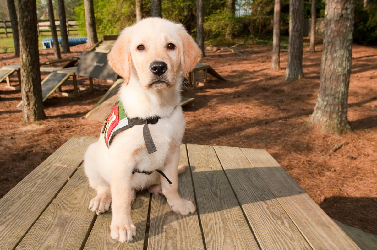 Pirelli was born with just three paws, but will still fulfill his mission to work as a service dog. The golden retriever will