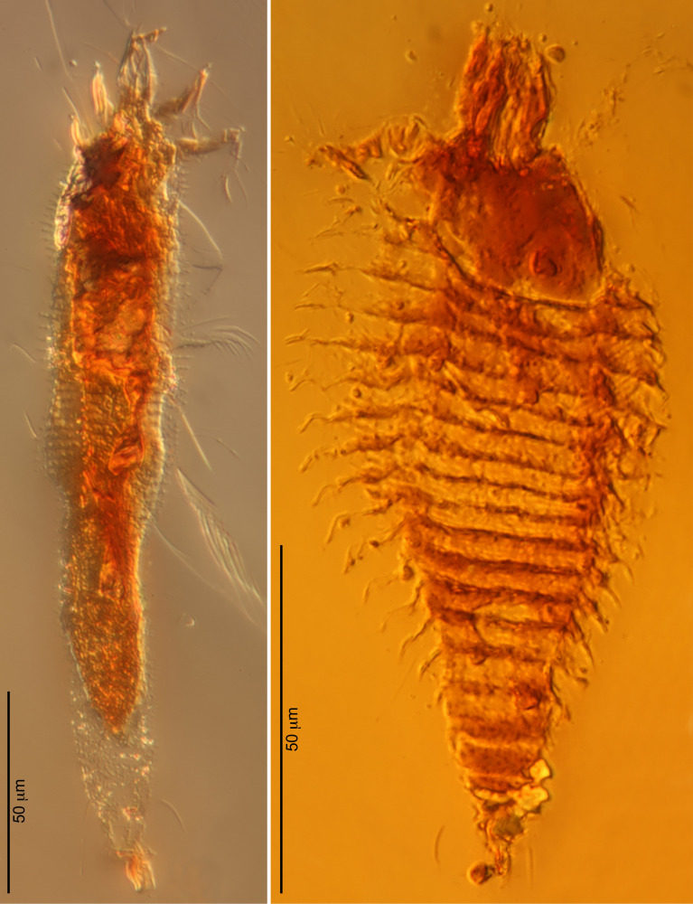 Ancient mites: Photomicrographs of the two new species of ancient gall mites in 230-million-year-old amber droplets from nort