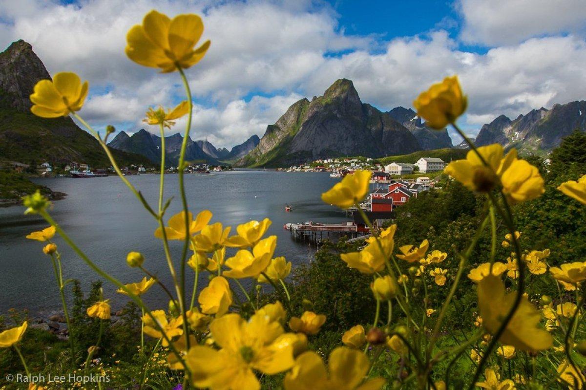 Summer wildflowers, Reine, Lofoten Islands, Norway. © Ralph Lee Hopkins