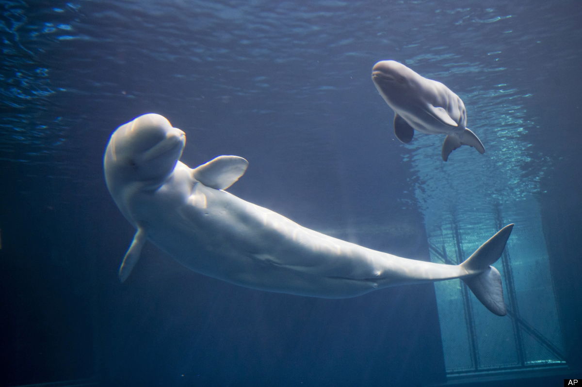 In this Monday, Aug. 27, 2012 photo, Mauyak, a beluga whale at Chicago's Shedd Aquarium, swims with her newly born calf at th