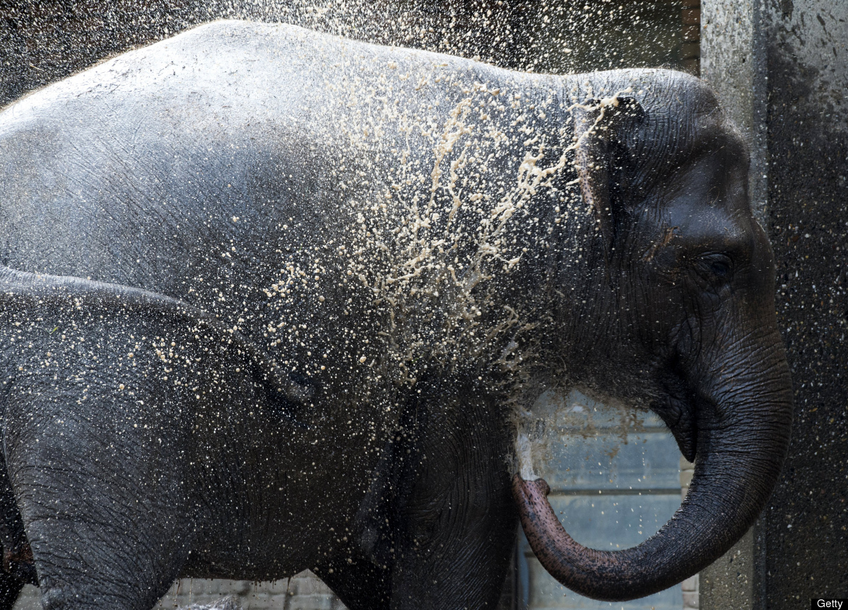 With temperatures hovering around 30 degrees centigrade an Asian elephant sprays itself with water at Berlin's Zoologischer G
