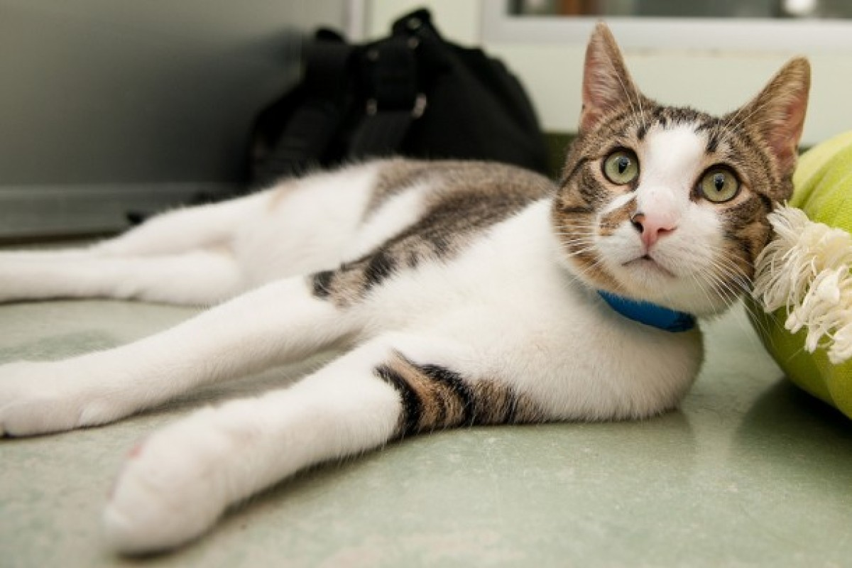 """Bugs is a rambunctious, lightning-fast 1-year-old kitty. Visit Bugs at PAWS Chicago, 1997 N. Clybourn Ave, Chicagt. <a href="""""""
