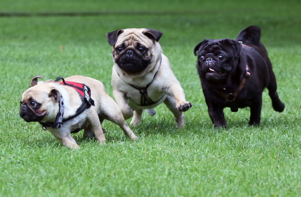 Three pugs play with each other at the international Pug Meeting in Berlin, Germany, on July 14. About 50 pugs took part in a