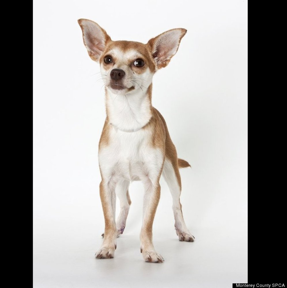 Denali is a 1 year and seven months, female Chihuahua mix.
