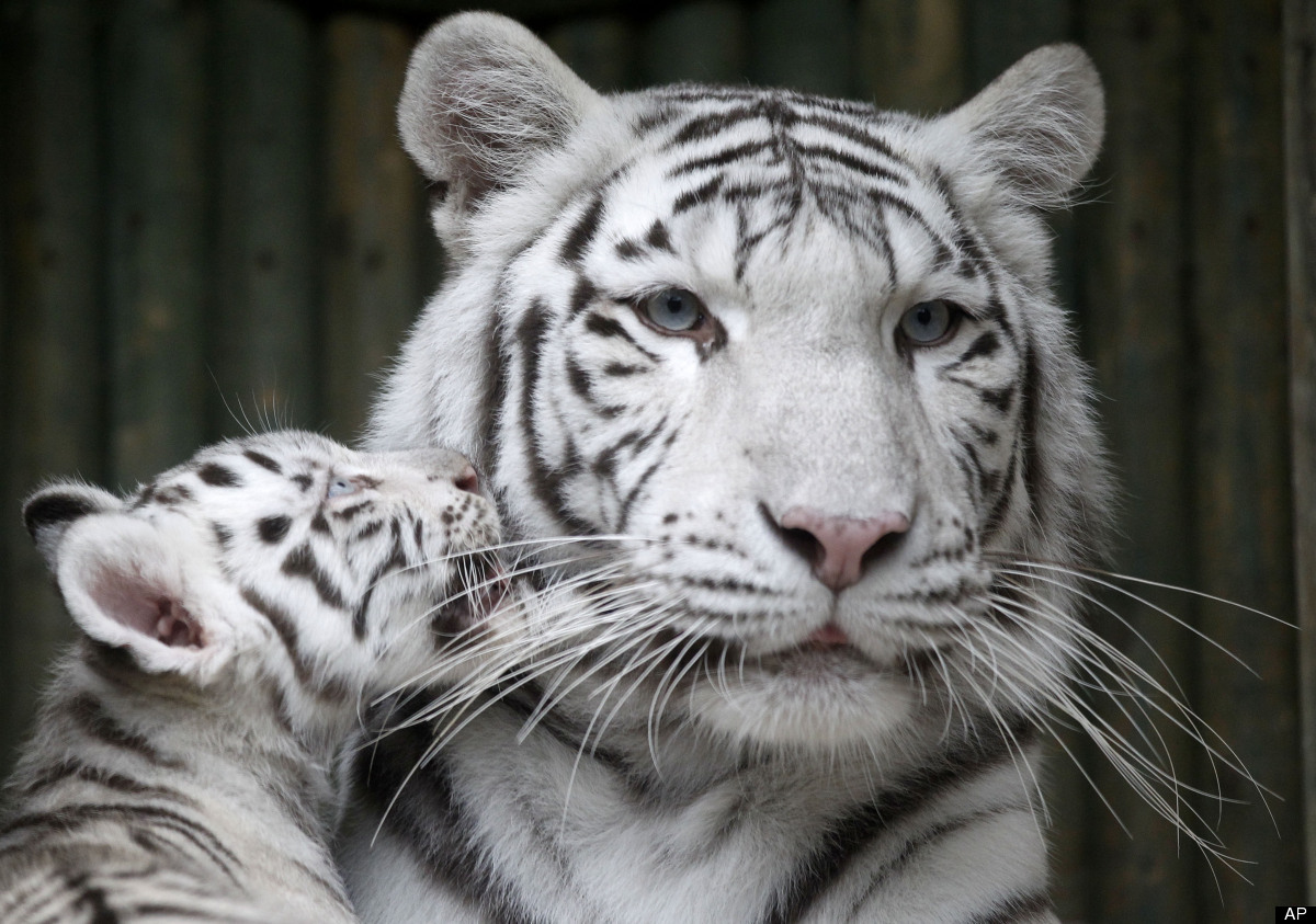 A rare white Indian tiger cub plays with its mother Surya Bara at a zoo in the city of Liberec, Czech Republic, Monday, Sept.
