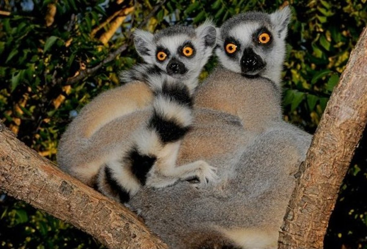 Known as Madagascar's trademark animal, the Ringtails are highly social, living in large matriarchal troops of up to 30 lemur