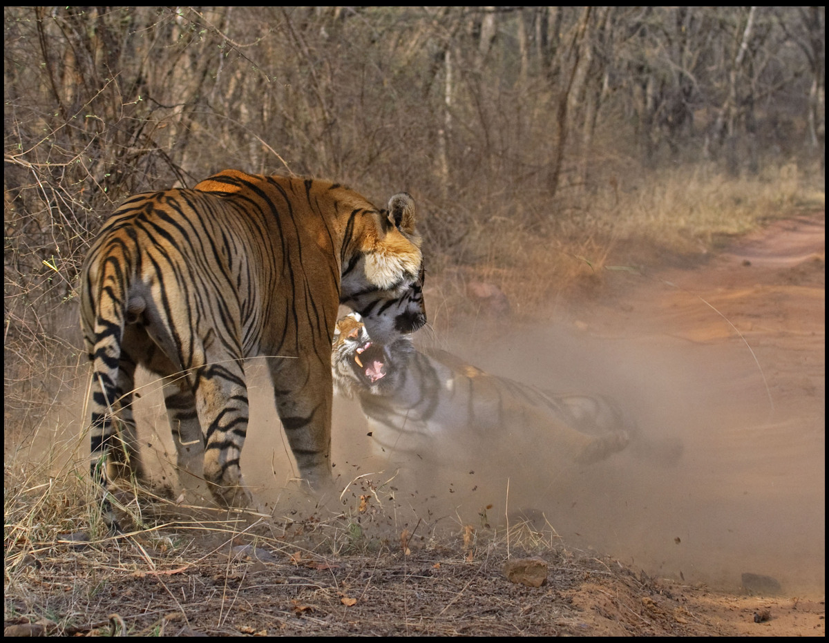 This is the moment a hulking male tiger felt the wrath of a female rival when she saw red after he stole her dinner.  The tig