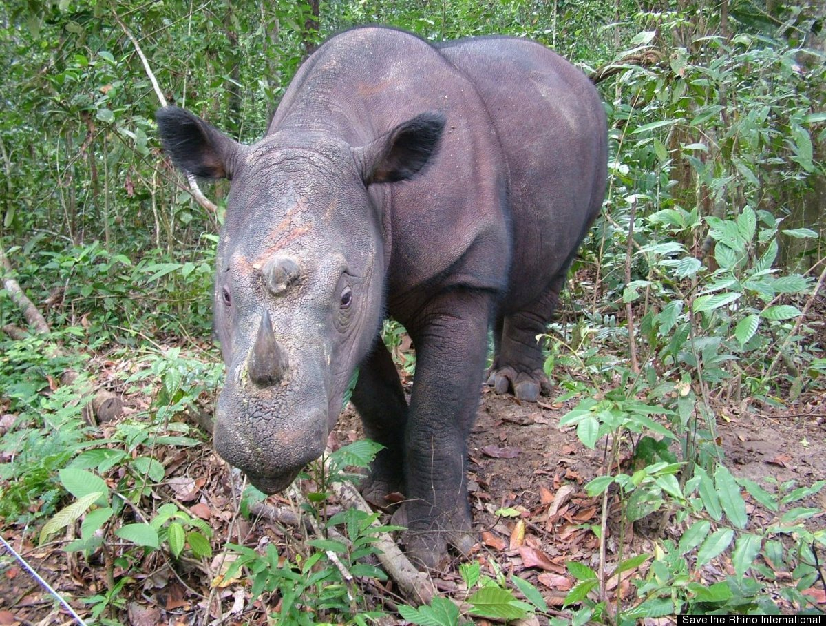 <strong>Scientific Name:</strong> <em>Diceros sumatrensis</em><strong>Common Name: </strong>Sumatran rhino