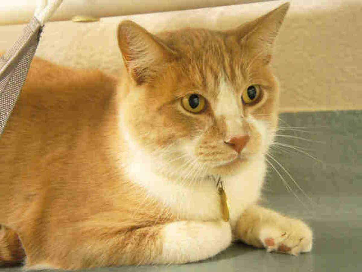 Sugar is a neutered orange tabby and white domestic shorthair mix. Shelter staff say he's an aptly-named sweetie who loves ba