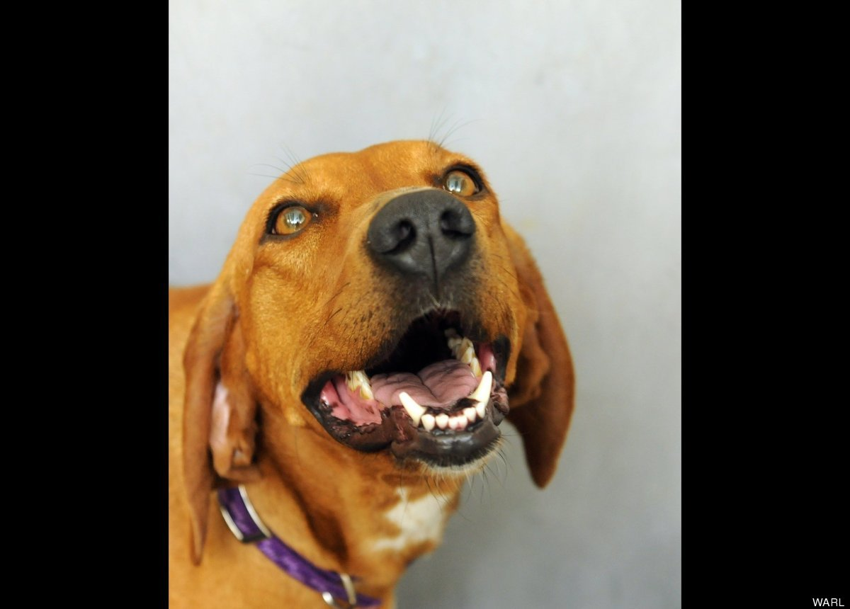 """Pia is a 4-year-old redbone coonhound mix from West Virginia who once spent life outdoors in a pen. She is now in a <a href="""""""