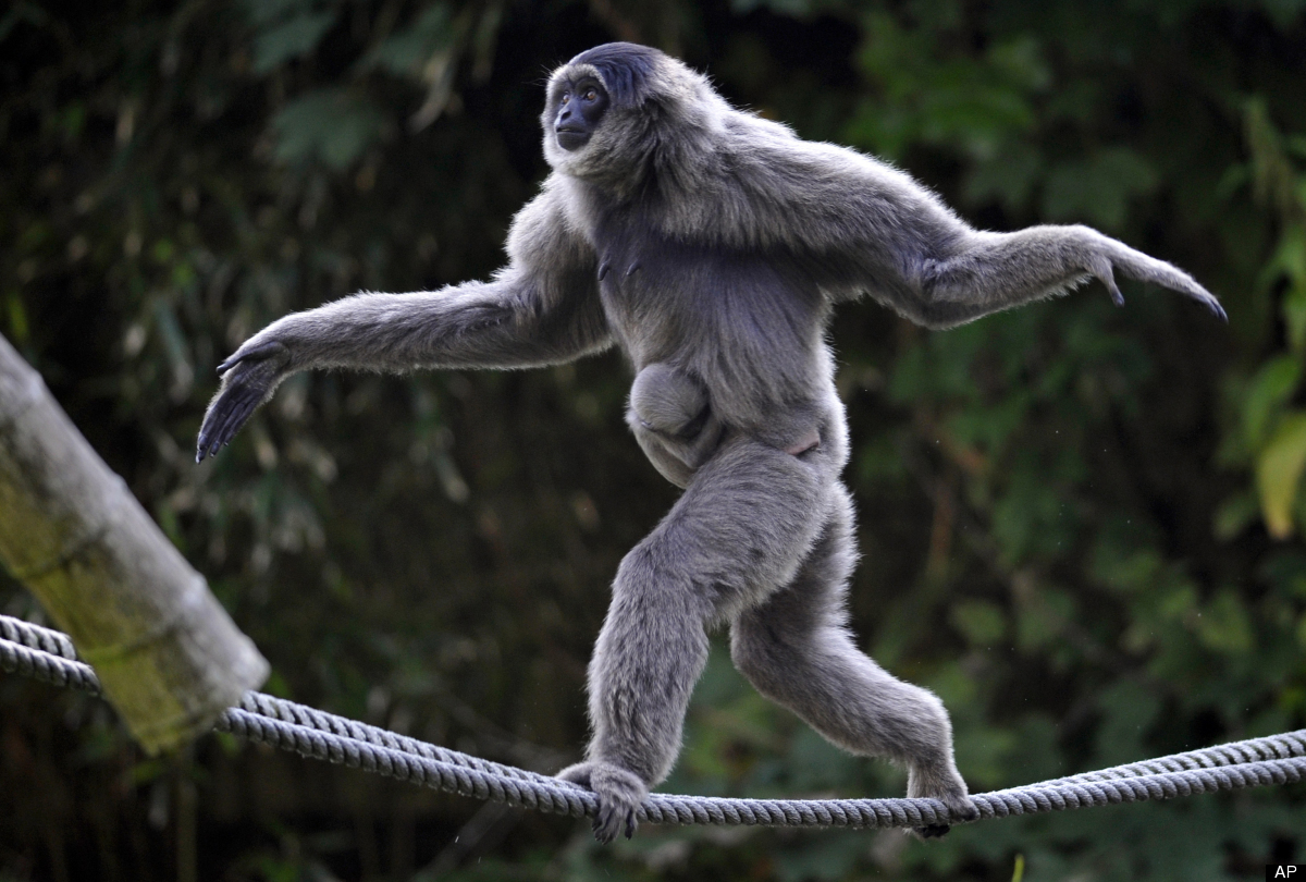 Female silvery gibbon Pangrango (Hylobates moloch) balances with her four week-old baby on ropes in their compound at the Hel