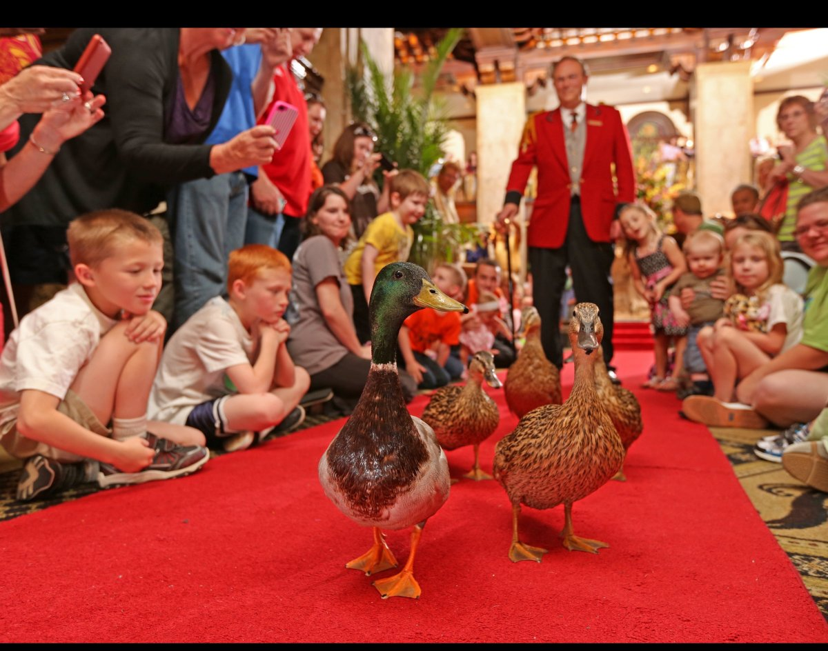 """For decades, a group of fine-feathered fowls have sauntered through the<a href=""""http://www.peabodymemphis.com/"""" target=""""_hpli"""