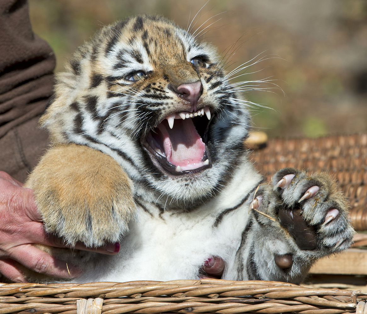 A zookeeper holds a Amur tiger cub (<em>Panthera tigris altaica</em>), also known as the Siberian tiger, during weighing in t