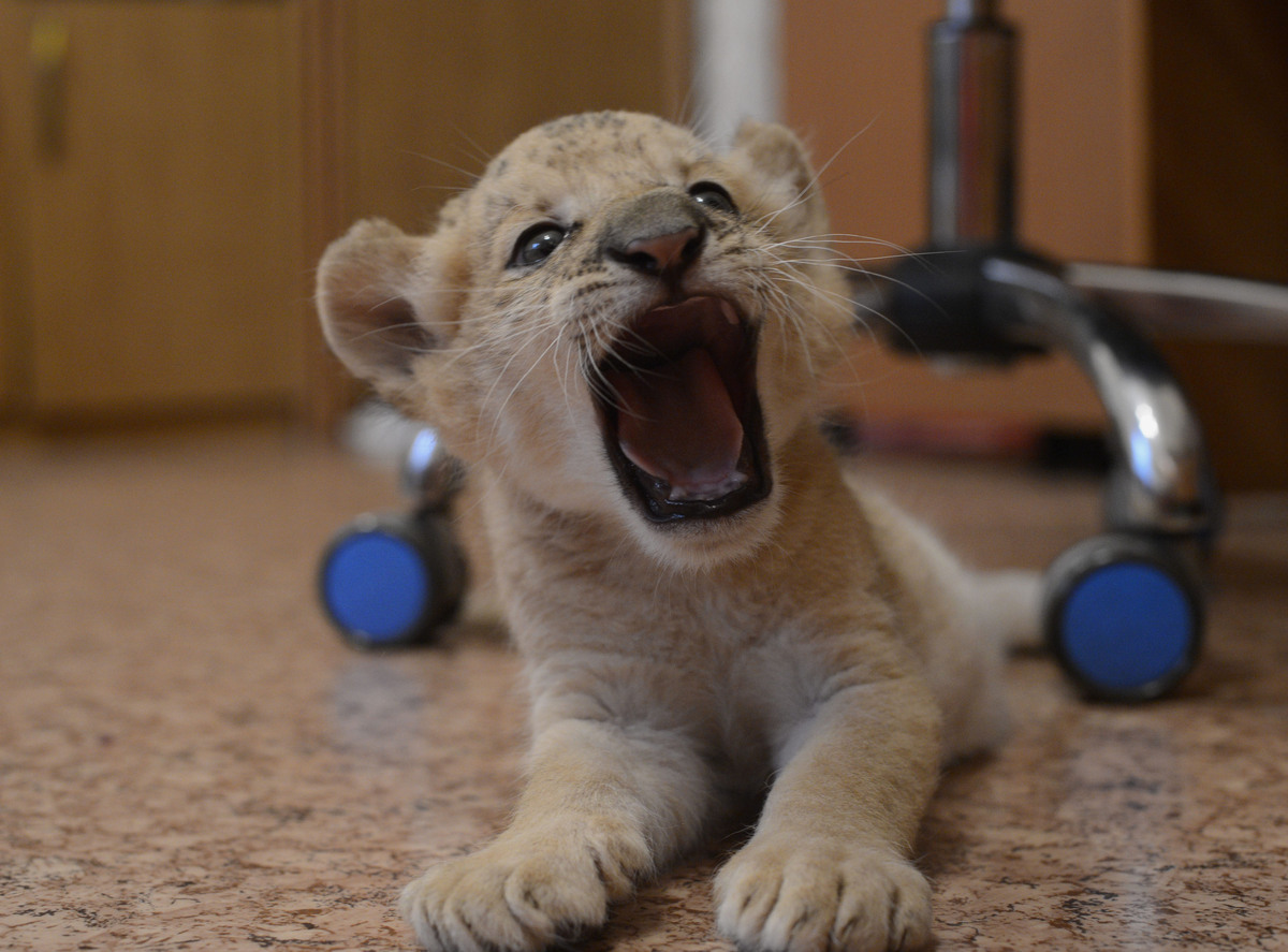 Female liliger cub Kiara, a hybrid between a lion and a ligress, at the Novosibirsk Zoo, in Novosibirsk, eastern Sibiria, Wed