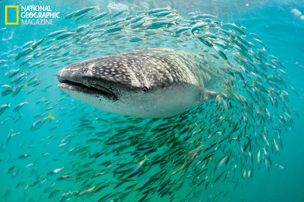 A whale shark, biggest of fishes, hangs out with small fry off the northern tip of the Yucatán Peninsula.