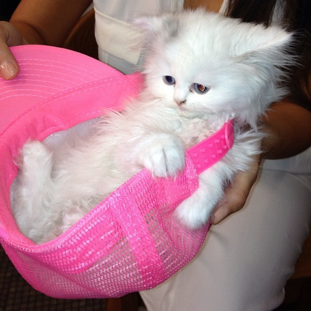 Kim kardashian persian cat