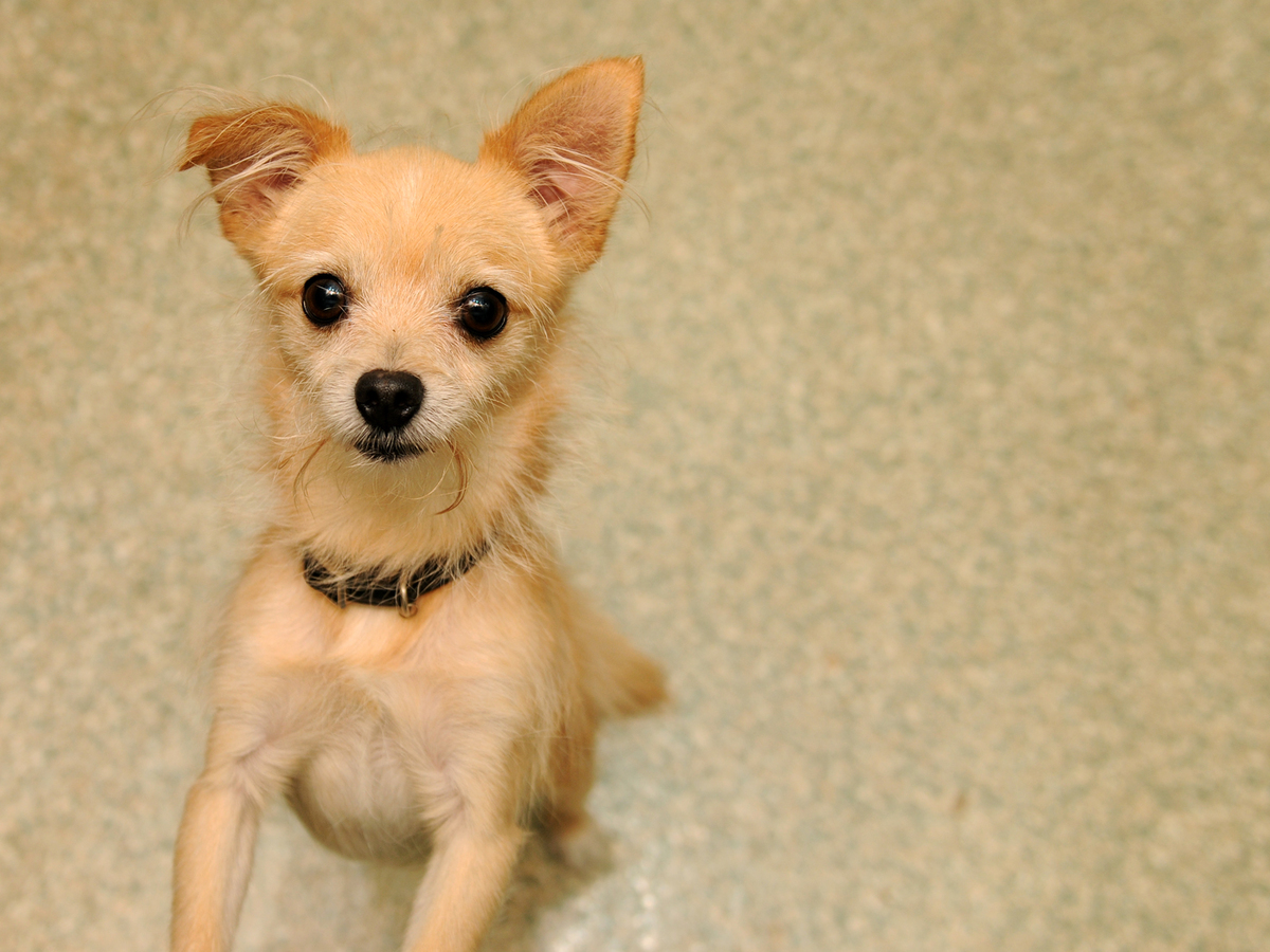 Shakespeare is an 8-year-old male Chihuahua mix who was picked up as a stray on the streets of D.C. This little boy can be a