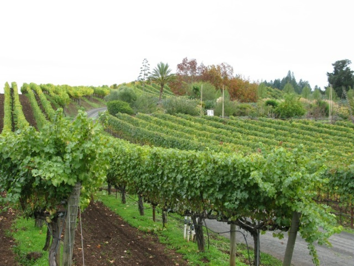The certified organic vineyards at Benziger are a testament to the theory that healthy vines make excellent wine.