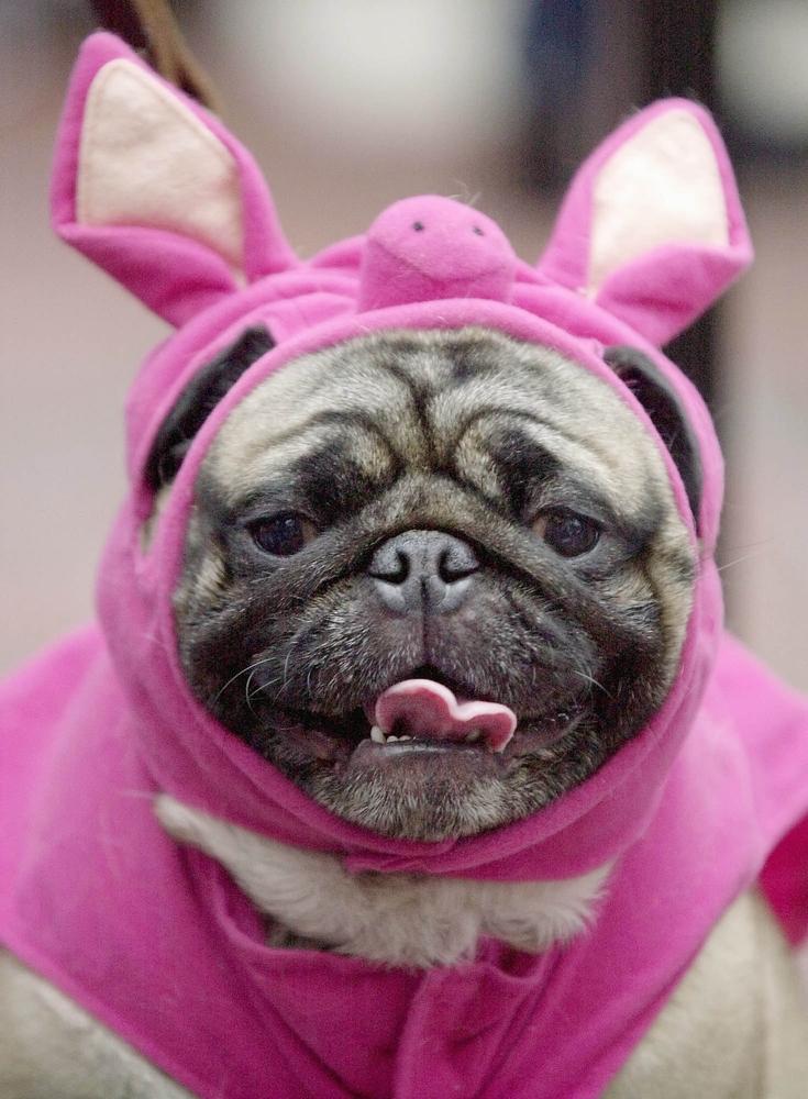 It's a pig in a blanket! No wait, it's a dog in a pig's blanket? I'm confused.
