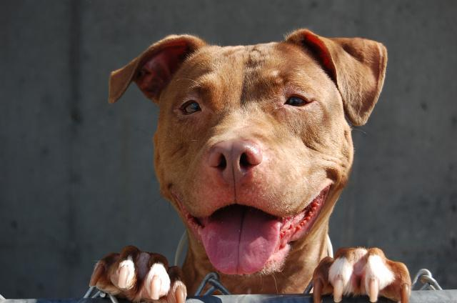 Jade is a beautiful, 50-pound pit bull terrier mix, already spayed and ready for her forever home! Meet her at Animal Care