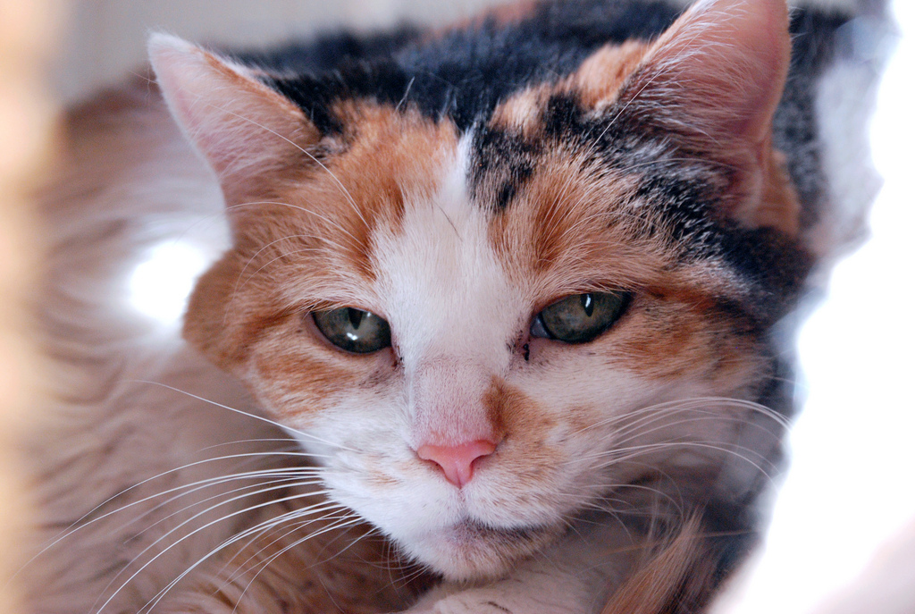 Cartigan is a beautiful 13-year-old girl whose previous owners recently moved into an apartment that does not allow pets. Vis