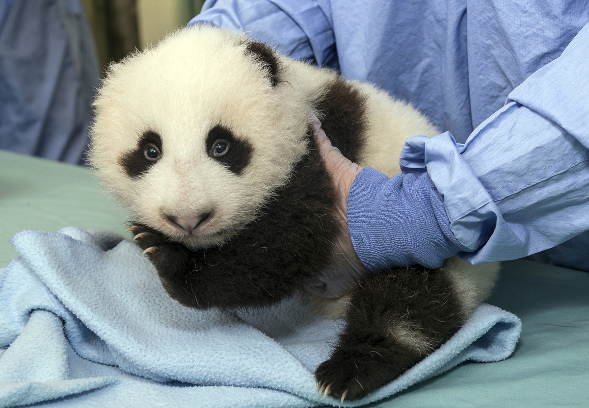This image provided by the San Diego Zoo shows a cub panda during a routine medical exam Thursday Oct. 4, 2012 at the zoo in