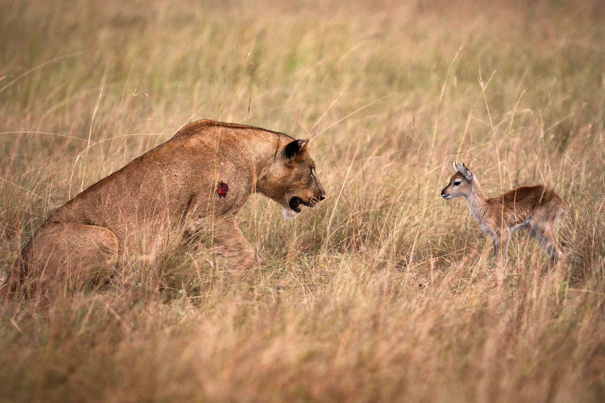 lioness befriends baby antelope after killing its mother