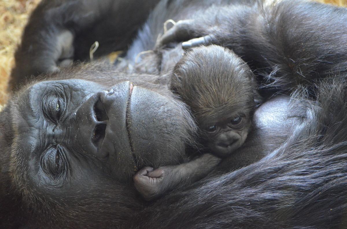 Photo by Tony Gnau/Lincoln Park Zoo.