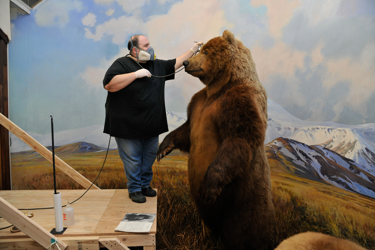 Taxidermist George Dante uses dye mixtures created for the restoration to touch up the Alaska brown bear's face with an airbr