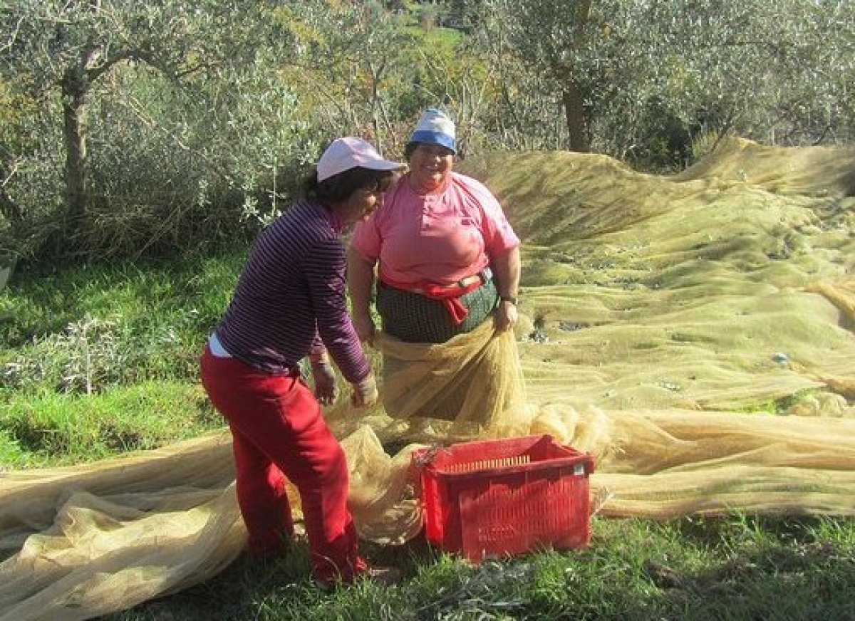 Workers lay nets beneath the olive trees to catch the olives as they're picked.