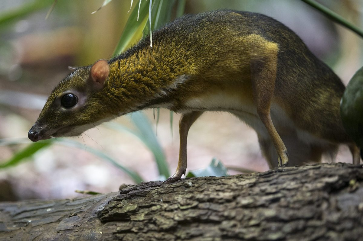 A chevrotain or mouse deer walks in its enclosure at Zurich Zoo, Zurich, Switzerland, Wednesday, Oct. 17, 2012. (AP Photo/Key