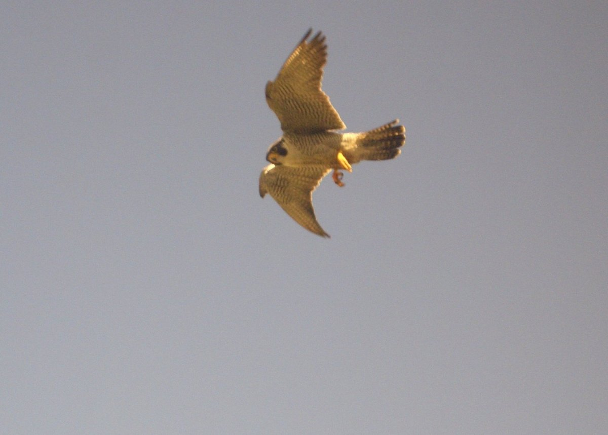Parent Peregrine Falcons circle overhead to watch us as we band their falcon chicks in Chicago nest sites.