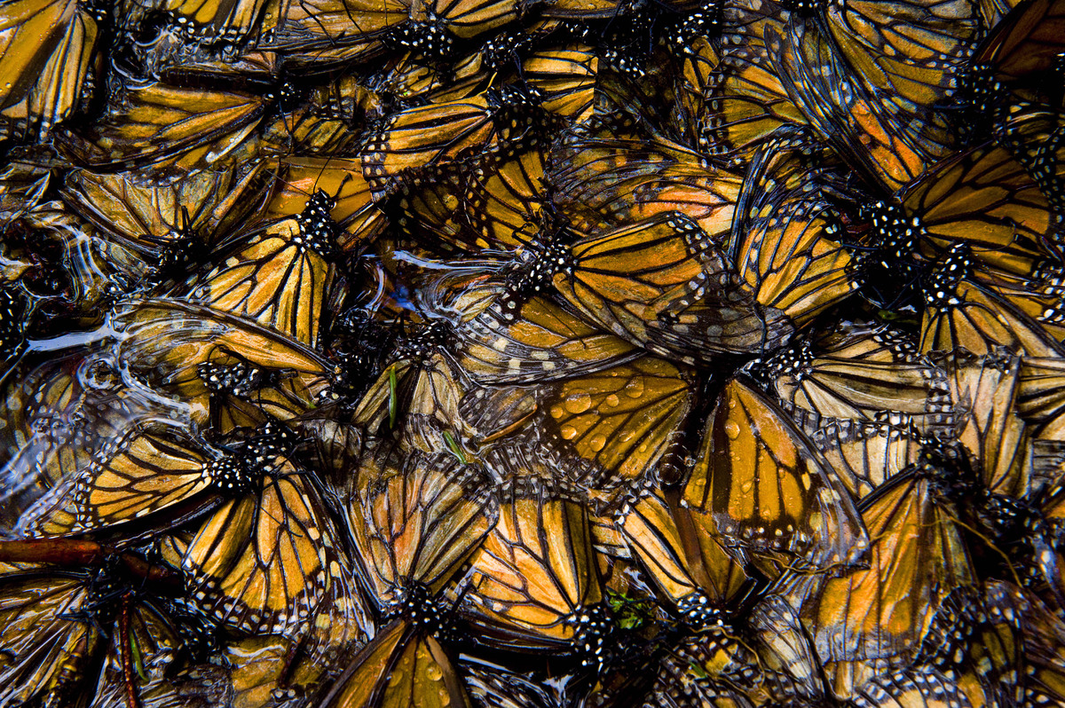 Monarch butterflies on the Sierra Chincua reserve in Mexico. (Photo credit: Joel Sartore/Caters)