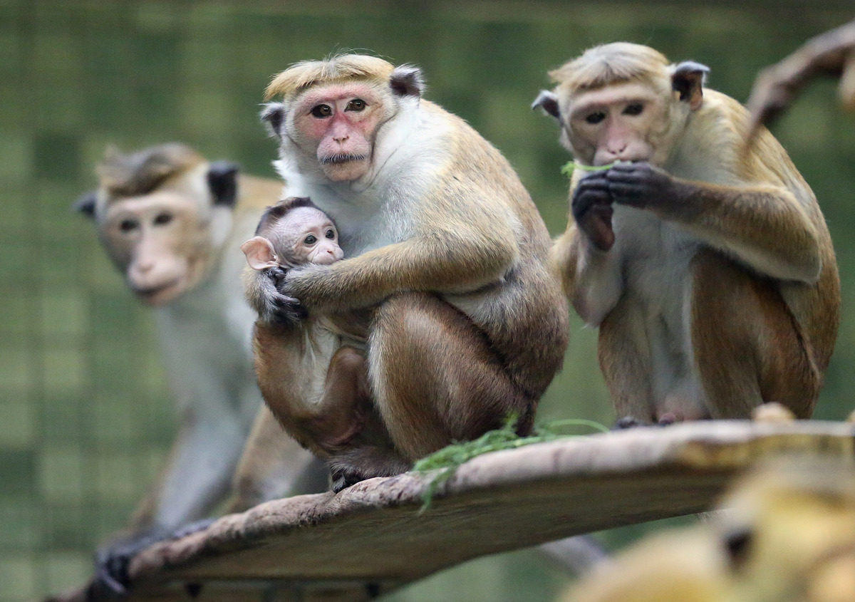 BERLIN, GERMANY - OCTOBER 23:  A mother toque macaque, which is a kind of monkey from Ceylon, holds her male baby at Zoo Berl
